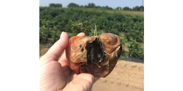 Bird damage to tomato with secondary fungi causing rot. (Photo by Erin Lizotte, MSU Extension)