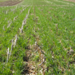 Cereal rye cover crops growing post corn, around the time of termination. (Photo by Eileen Kladivko)