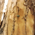 National and state experts have confirmed the presence of emerald ash borer (EAB) – an invasive, highly destructive tree pest – in the City of Westminster, north of Denver. (Courtesy of City of Westminster)