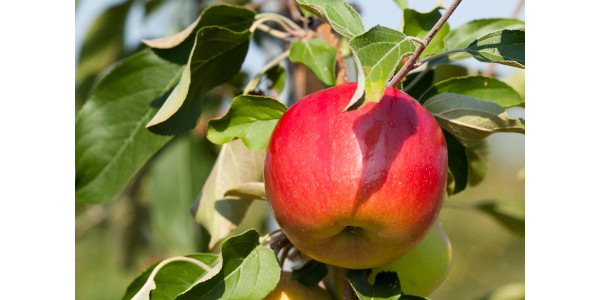 Produced from the newly released MN55 apple tree cultivar developed by the University of Minnesota, First Kiss® is a brand reserved exclusively for a premium quality apple fruit produced by Minnesota growers. (Courtesy of University of Minnesota)