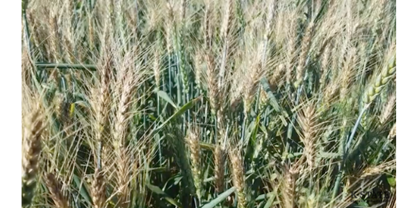 The challenging wheat blast disease appears to have found a new way to attack the world's wheat fields. (Screenshot from video)