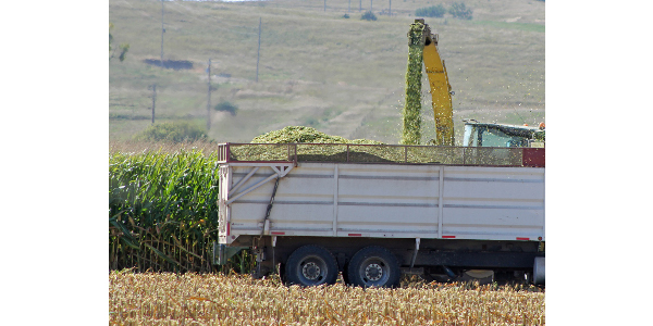 Producers with a corn crop impacted by the canal breach may want to consider making corn silage out of this year's crop. (Photo credit Troy Walz)