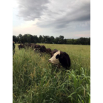 Now, producers may have the option to add grazing Conservation Reserve Program acres to their grazing rotation in the spring and again in late summer. (Courtesy of ISU Extension and Outreach)