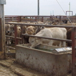 Recently weaned calves adjust to feedlot conditions. (Photo credit: MU Extension)