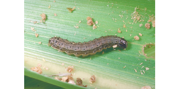 Figure 1. Fall armyworm can be recognized by the dark inverted 'Y' on its head and the four larger dark spots near the end of its abdomen. (Photo: Ric Bessin, UK)