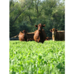 Cattle graze on cover crops. (NDSU photo)