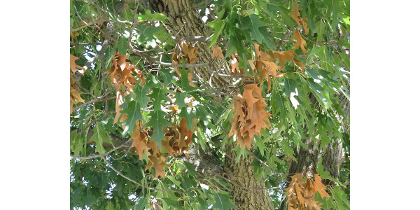 Botryosphaeria twig canker is probably responsible for the brown leafy twigs in the red oak. (Courtesy of ISU Extension and Outreach)