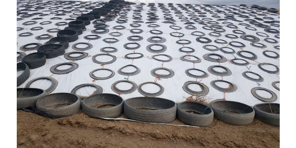 Used tires provide weight to secure plastic around the silage pile. (Photo courtesy of Rana Zeller)