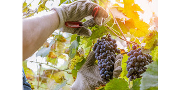 In general, the prime time for the annual grape harvest falls in the months of August, September and October. (Courtesy of Missouri Department of Agriculture)
