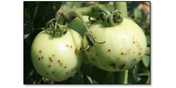 Figure 1: Symptoms of bacterial spot on tomato. (Photo: Kenny Seebold, UK)