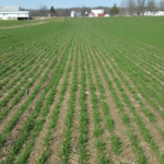 With the abundance of prevented plant acres in Michigan this year, there is significant interest in planting wheat early. Early planting is always associated with higher yields, but can you plant too early? (Photo by Dennis Pennington, MSU Extension)