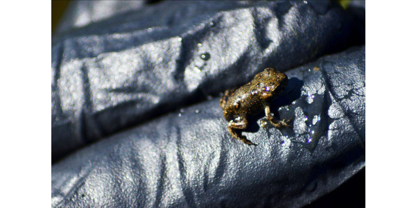In an ongoing conservation project, CPW recently release 1,700 boreal toad toadlets in a wetland in the San Juan mountains. (Courtesy of CPW)