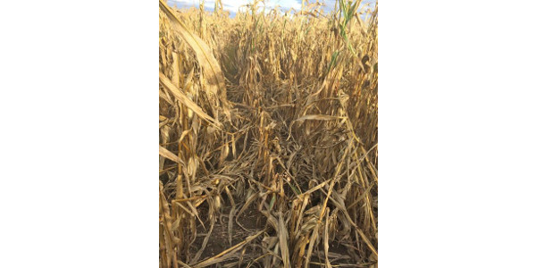 Irrigated corn field with significant lodging in St. Joseph County. Tar spot caused premature leaf tissue death. Corn stalk strength was reduced as plants scavenged carbohydrates from the stem for kernel development. (Photo by Bruce MacKellar, MSU Extension)