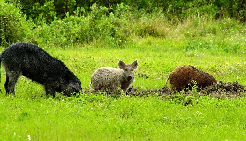 Guam mayors seek solution to invasive feral pigs