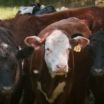 cattle beef (U.S. Department of Agriculture, Public Domain)