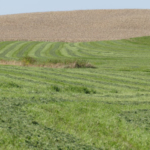 The data show no difference between spring alfalfa stands that received a fall K application and those that did not. This contrasts with older information and common knowledge prevalent today. (Image credit: Paul McDivitt/University of Minnesota Extension)