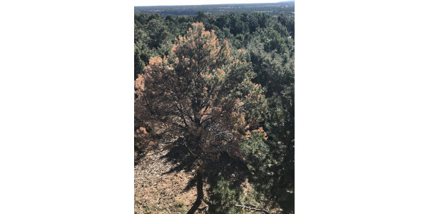 Pinyon pine with Ips damage and drought stress. (Courtesy Susan Carter, Mesa County Extension)