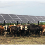 These solar panels can provide shade for 30 to 40 cows and a like number of heifers under a second system at the University of Minnesota—Morris. (Courtesy of University of Minnesota )