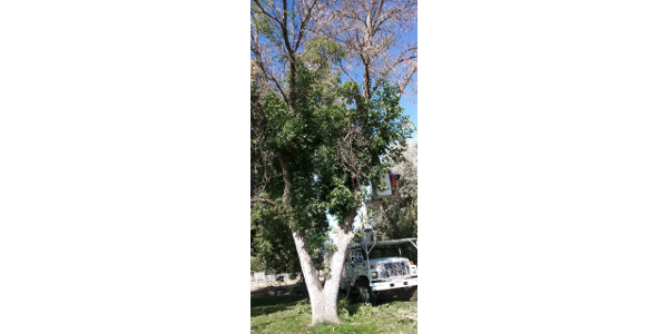 EAB-Infested Tree in Larimer County