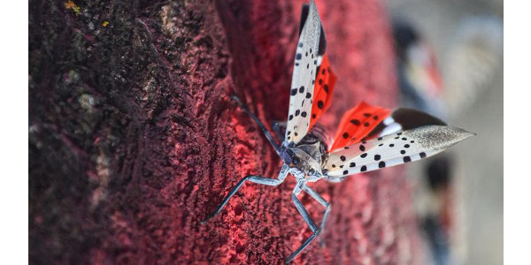 Photo 1. A spotted lanternfly adult on a tree in Pennsylvania. (Photo by USDA APHIS/Tanya Espinosa)