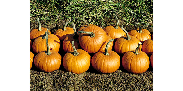 In the United States, this colorful member of the gourd family sells mainly for decoration. (Credit: National Garden Bureau Inc.)