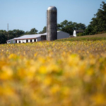 A barn and silo are seen at the end of soybean and cornfields at Spooner Agricultural Research Station in Spooner, Wis., Thursday, Sept. 19, 2019. (Photos by Michael P. King/UW–Madison CALS)