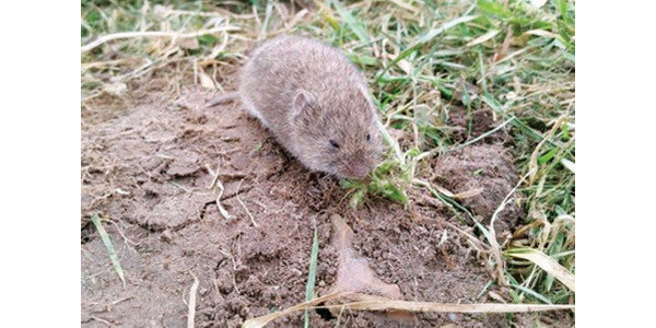 "Common vole. Photo by Pennsylvania State University Extension publication ""Voles"" 2007. (Courtesy of MSU Extension)"