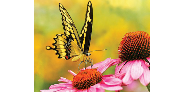 The butterfly is the featured highlight of the 2020 Iowa State University Extension and Outreach Garden Calendar, available for purchase through the ISU Extension Store, and at some county extension offices. (Courtesy of ISU Extension and Outreach)