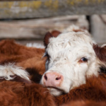 Close up of Hereford cow head. (Photo by esmehelit/stock/adobe.com)