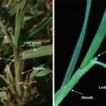 Identifying Cheat grass without the seed head. (Courtesy of CO-Horts Blog)