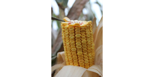 Corn at R5.25 dent stage in late September. (Courtesy of MSU Extension)