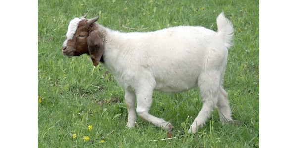 Goat. (Photo credit: MU Extension)