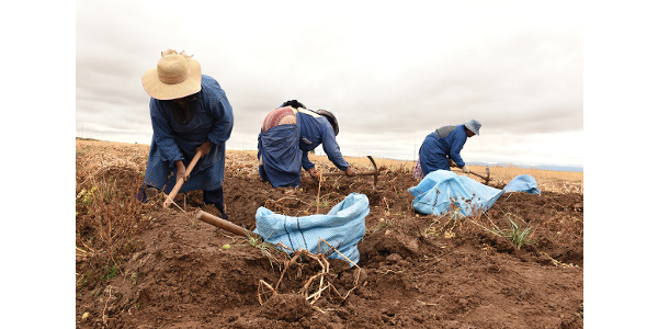 Three women harvest Wiñay potatoes from trial plots at the Instituto Nacional de Innovación Agraria experimental station in Puno, Peru. (Photos by William Schaefer)