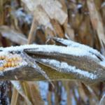 Snow on unharvested corn. (Pixabay Photo)