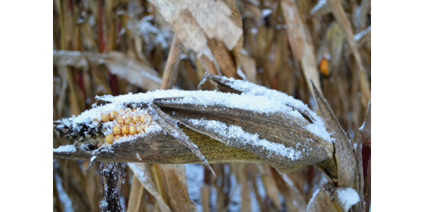 Snow on unharvested corn. (Pixabay Photo)