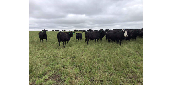 Take toxicity into consideration when evaluating options for fall grazing. (NDSU photo)