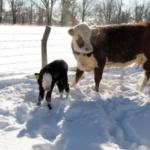 Newborn calf. (Flickr: UACES Comm)