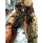 Carrot exhibiting symptoms of northern root-knot nematode. They appear sprangled and hairy with abundant galls, or small swellings on the feeder or hair roots. (Photo by Ben Phillips, MSU Extension)