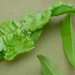 Figure 1: Peach leaf curl symptoms include thick, folded, puckered and curled leaves. (Photo: Paul Bachi, UK)