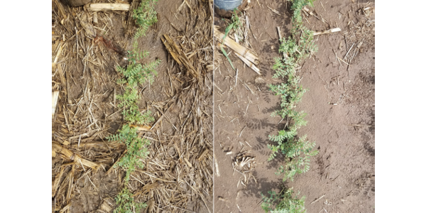 Figure 1. Comparison of chickpeas grown in no-till (L) and tillage (R) at Grant in 2018. (Courtesy of UNL)