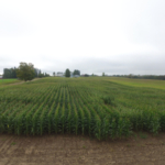 Depending upon the degree of immaturity, harvesting corn as silage, earlage, or snaplage may result in greater crop revenue than harvesting as high-moisture or dry-shelled corn. (Photo by Monica Jean, Michigan State University Extension)