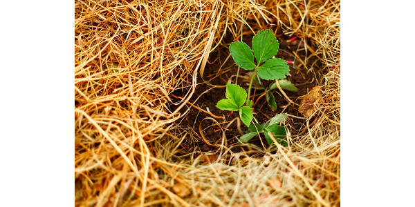 Horticulturists with Iowa State University Extension and Outreach explain how to properly mulch strawberries to provide protection against winter injury. (Plant by EduardSV/stock.adobe.com)