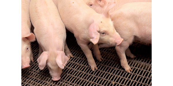Among the information to be shared at K-State Swine Day next month is research on fumonisin-infected corn and how it affects the growth and performance of nursery pigs. (Courtesy of K-State Research and Extension)