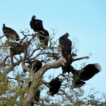 The Kentucky Cattlemen's Association (KCA) is asking members of the Kentucky Senate and House to sign onto a letter supporting new rules that will allow greater flexibility in depredation permitting for Black Vultures under the Migratory Bird Treaty Act (MBTA). (Courtesy of KCA)