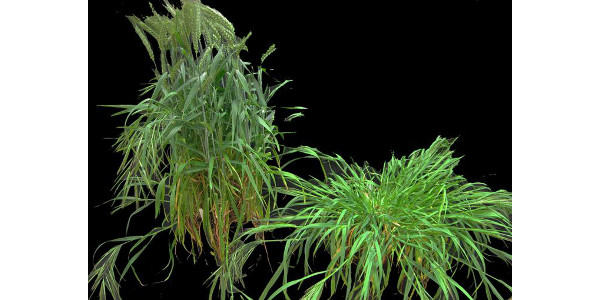 Photo shows the effect of wheat crop competition on the growth habit of ripgut brome grass (Bromus diandrus) (left), which without competition displays a prostrate growth habit (right). (Photo by Dr. Michael Walsh)