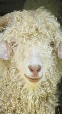 Angora goat performance test starts Dec. 11