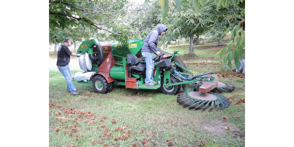 Chestnut harvest in Michigan. (Photo by Erin Lizotte, MSU Extension)