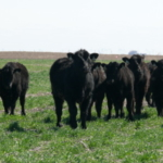 Iowa Learning Farms will host a webinar on Wednesday, November 20 at 12:00 p.m. about the research being done at Iowa State University on grazing cover crops. (Courtesy of Iowa Learning Farms)