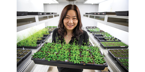 Xuehua Zhong, associate professor of genetics, holds a flat of Arabidopsis thaliana (thale cress) in a basement grow room in the Genetics- Biotechnology Center Building on the UW–Madison campus. (Photos by Michael P. King)