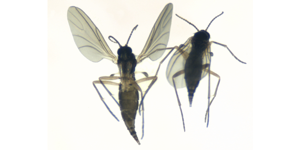 Figure 1: Fungus gnat adults are 1/8th inch long and are gray to gray-black. They have long, skinny legs and sort of resemble mosquitoes in shape and in flight. (Photo: Jim Kalisch; University of Nebraska-Lincoln)